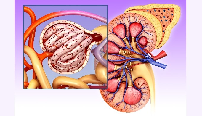 Uric Acid-Lowering Therapy Helps Kidney, Heart